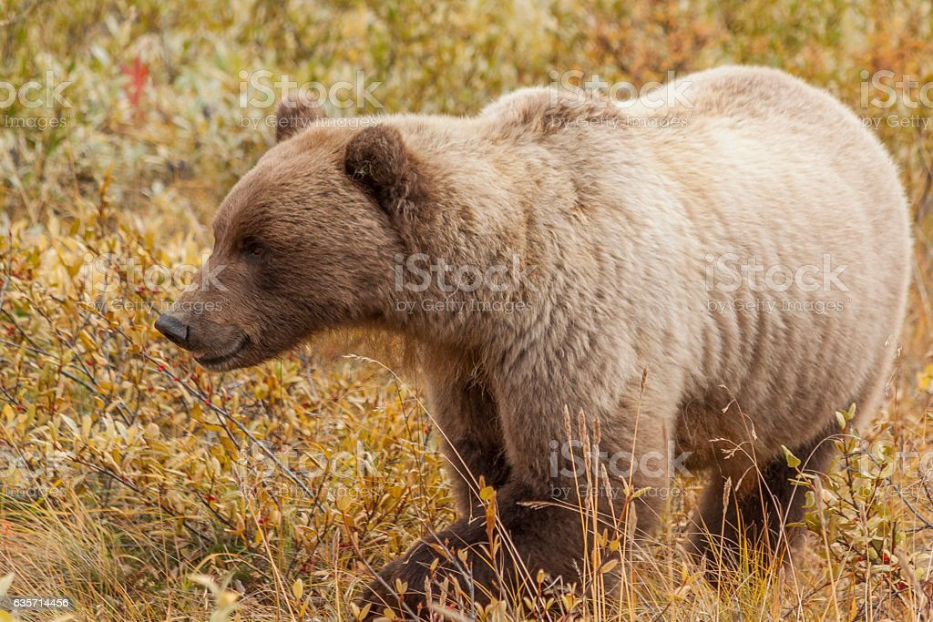Grizzly bear feeding on soapberries in Denali National Park. royalty-free stock photo