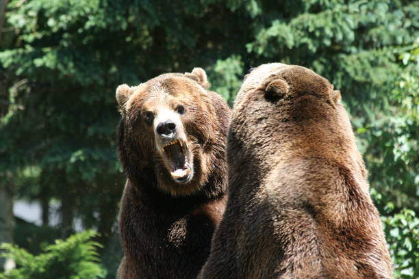 Grizzly Bear Fight stock photo