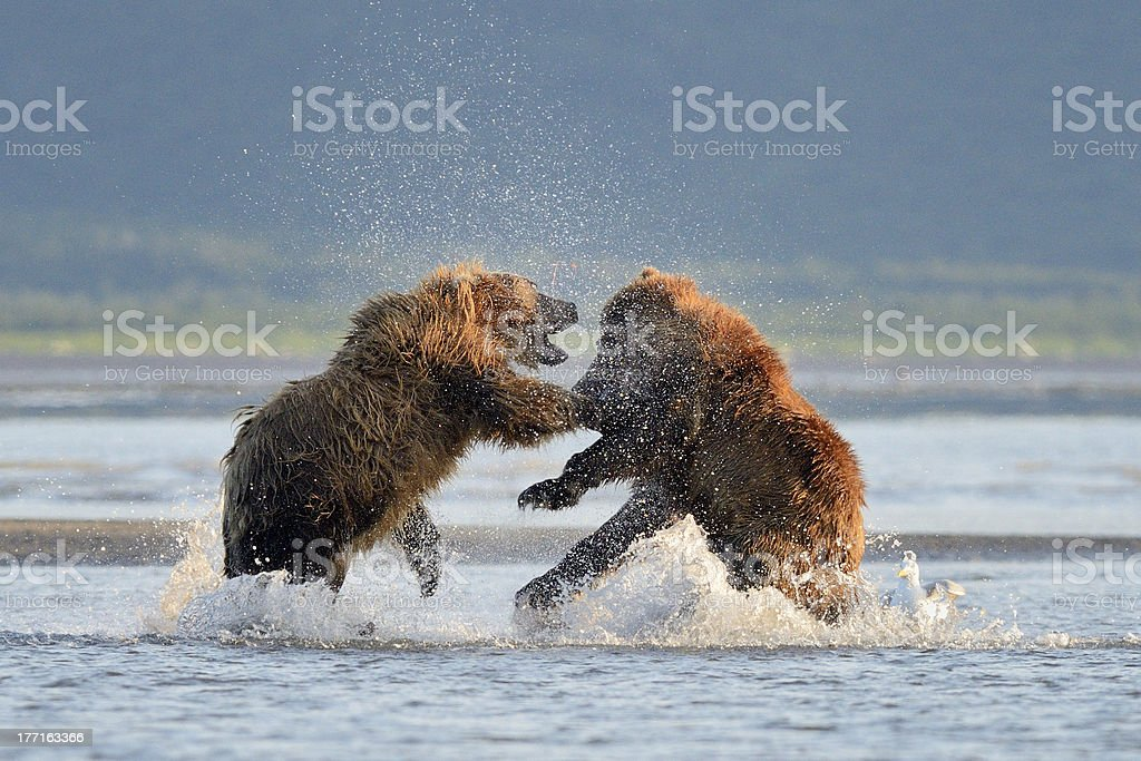 Grizzly bear fighting stock photo