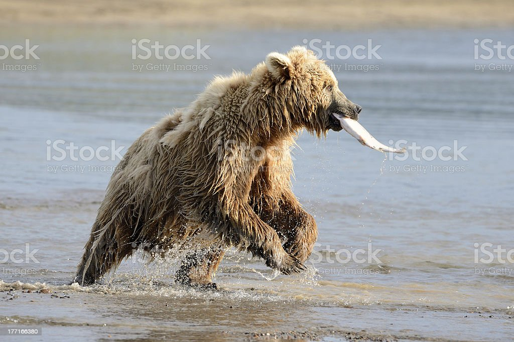 Grizzly Bear fishing royalty-free stock photo