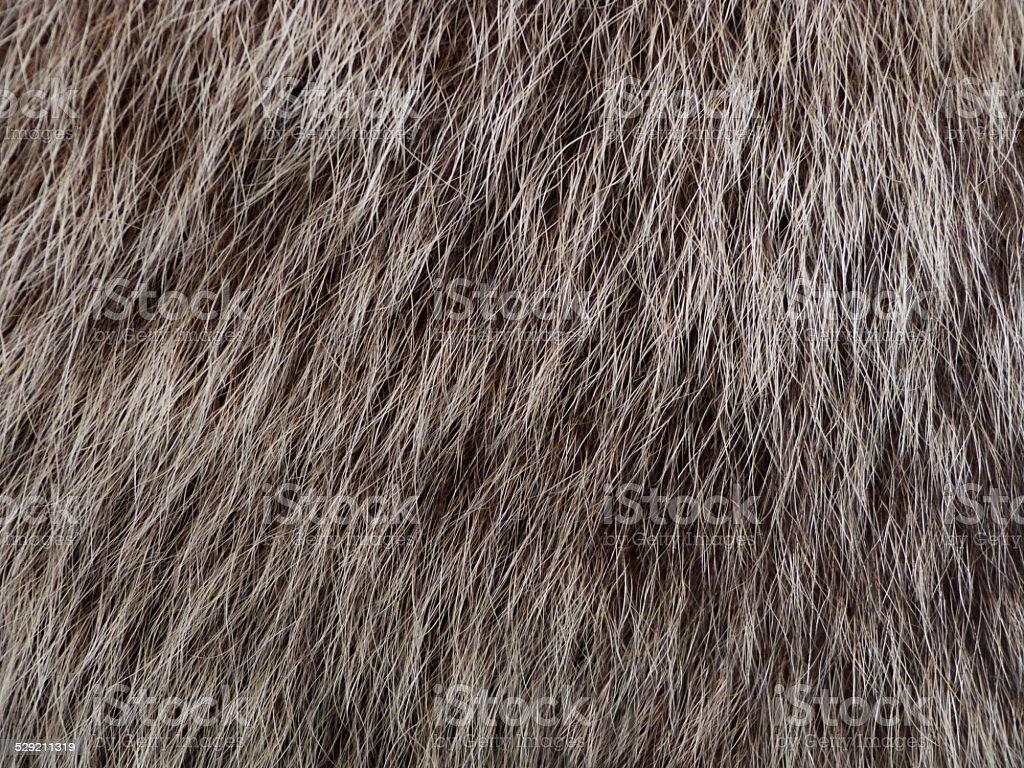 Grizzly Bear Hair stock photo