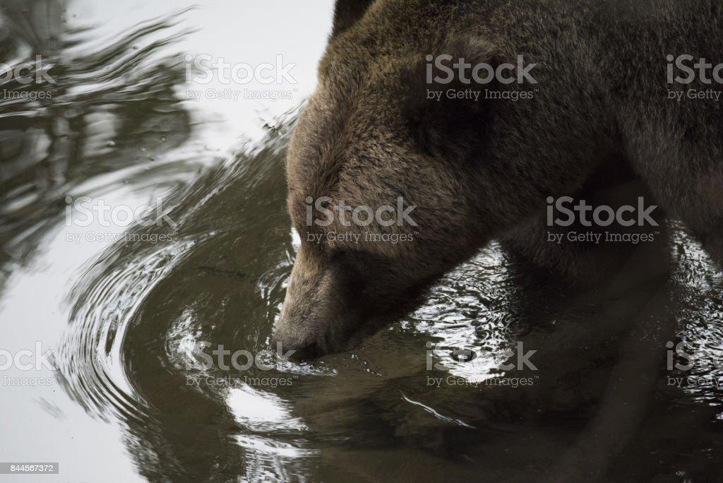 Grizzly Bear head closeup stock photo