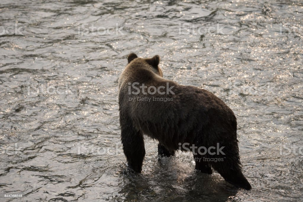 Grizzly Bear hunting spawning salmon stock photo