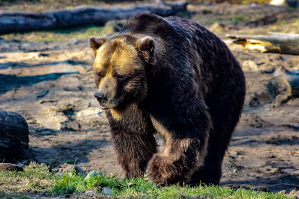 grizzly bear in a dramatic photo - carnivora stock photos and pictures