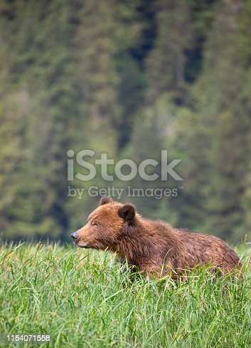 Brown Bear, Ursus arctos  Khutzeymateen Provincial Park, Great Bear Rainforest, British Columbia, Canada