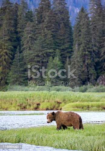 Brown Bear, Ursus arctos  Khutzeymateen Provincial Park, Great Bear Rainforest, British Columbia, Canada