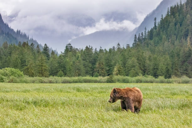 Grizzly Bear in a meadow in Canada's Great Bear Rainforest stock photo