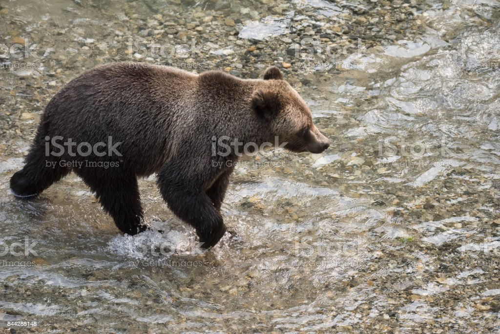 Grizzly Bear in a salmon stream aerial stock photo