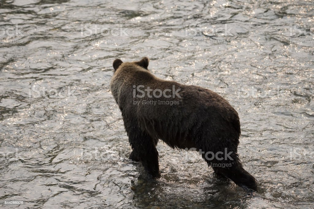 Grizzly Bear in a salmon stream stock photo