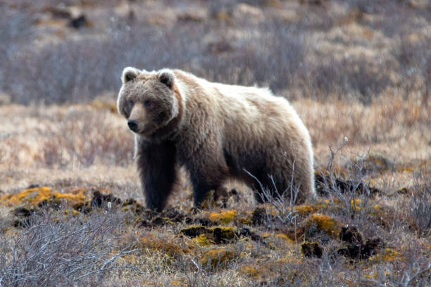 Grizzly Bear in Alaska United States stock photo