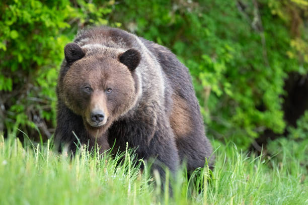 Grizzly Bear in Canada's Great Bear Rainforest stock photo