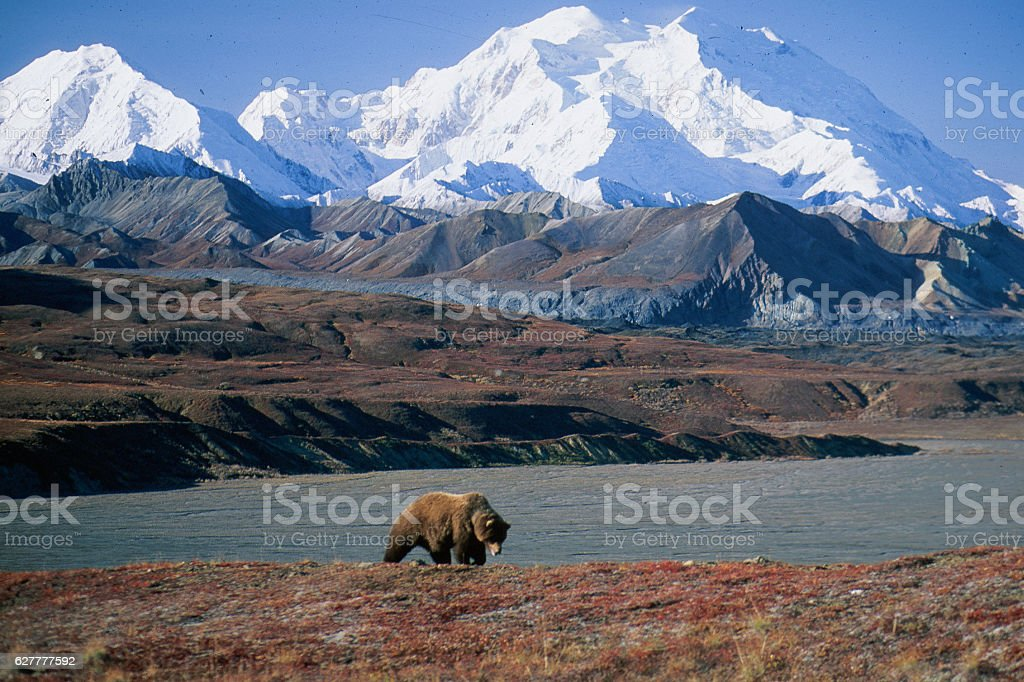 Grizzly bear in front of Mt McKinley Grizzly bear in front of Mt McKinley, (Ursus arctos), Alaska, Denali National Park, Copyright David Hoffmann Alaska - US State Stock Photo