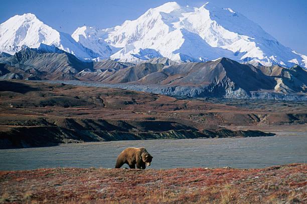 grizzly bear in front of mt mckinley - oso fotografías e imágenes de stock