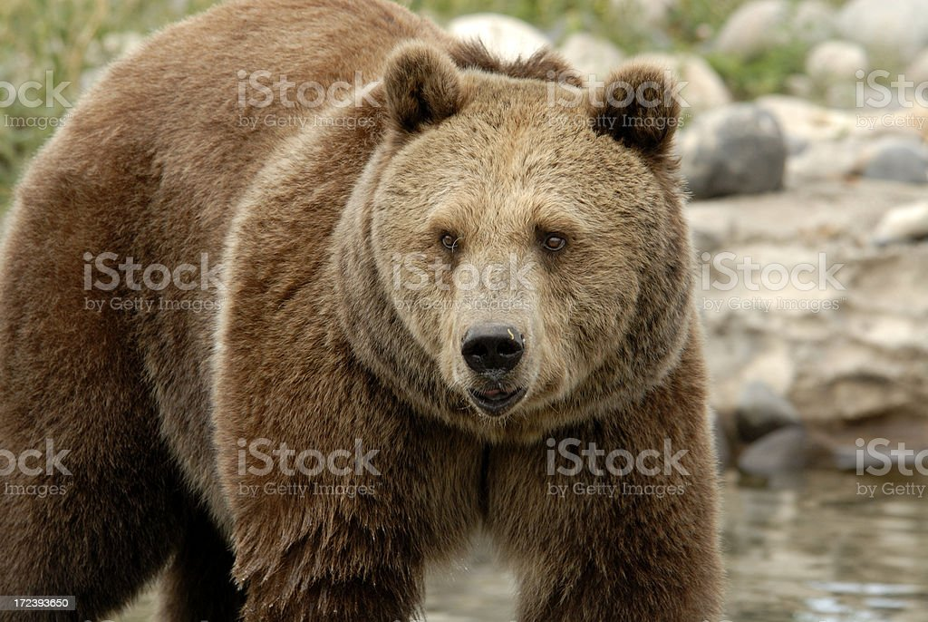 Grizzly Bear in Montana royalty-free stock photo