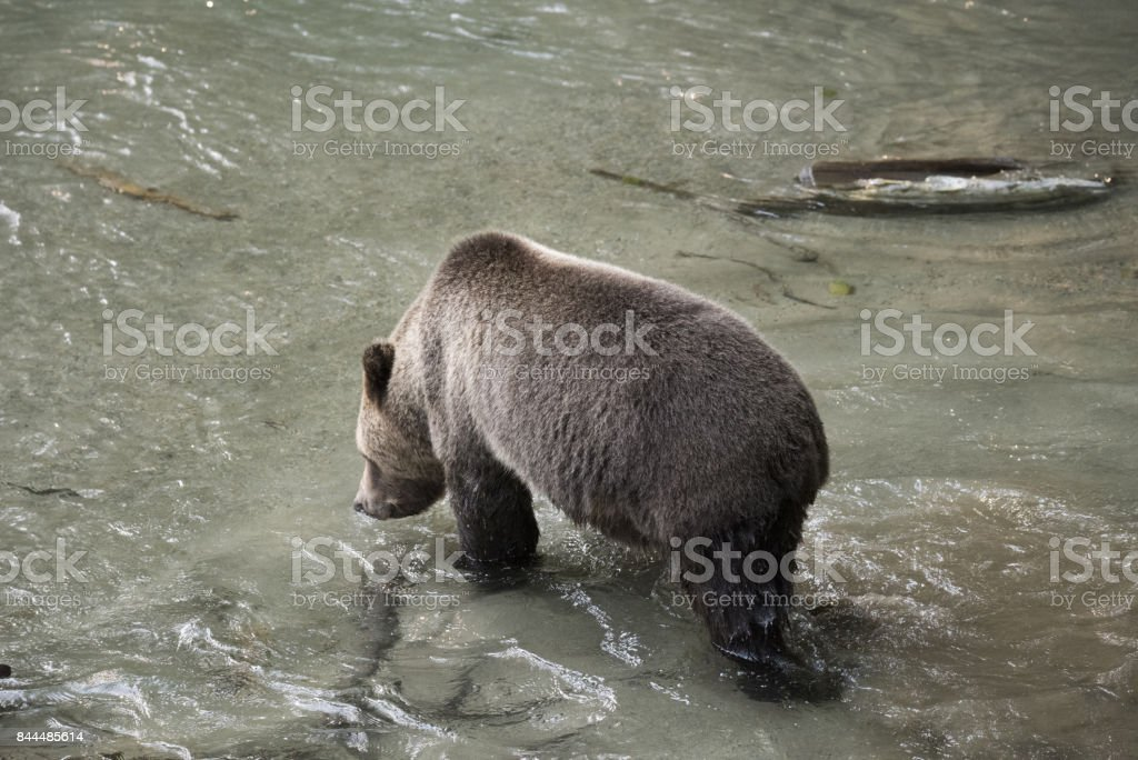 Grizzly Bear in mountain stream stock photo