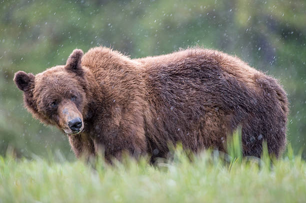Grizzly Bear in Rain stock photo