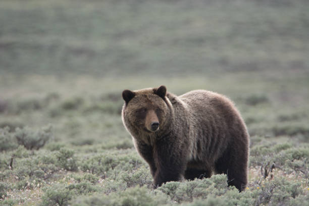 Grizzly Bear in Sagebrush stock photo
