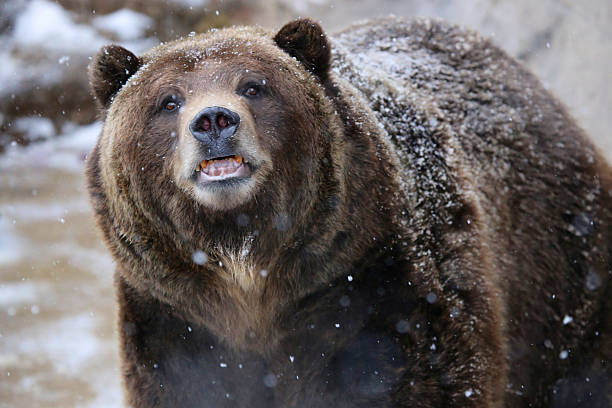 Grizzly Bear in Snow stock photo