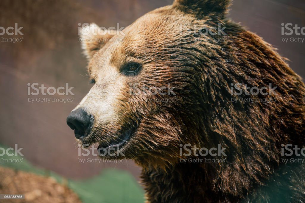 Grizzly bear in the zoo wildlife in Fasano apulia safari Italy royalty-free stock photo