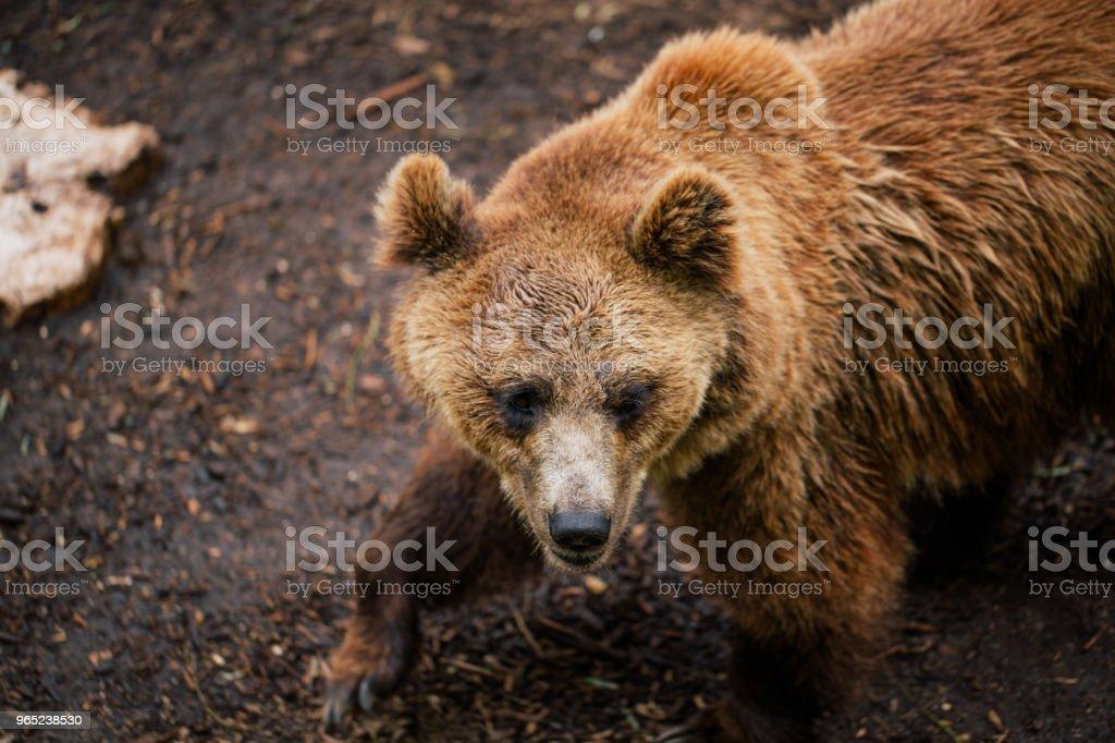 Grizzly bear in the zoo wildlife in Fasano apulia safari Italy royalty-free stock photo