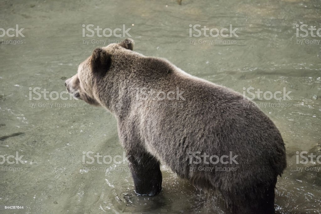 Grizzly Bear in water stock photo
