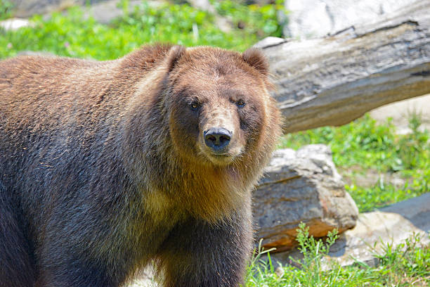 Grizzly bear in wooded setting stock photo
