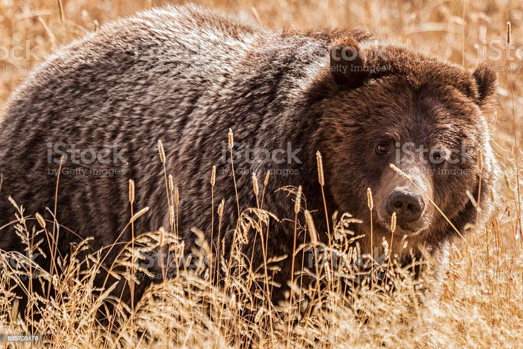 Grizzly bear in Yellowstone National Park, Wyoming. royalty-free stock photo