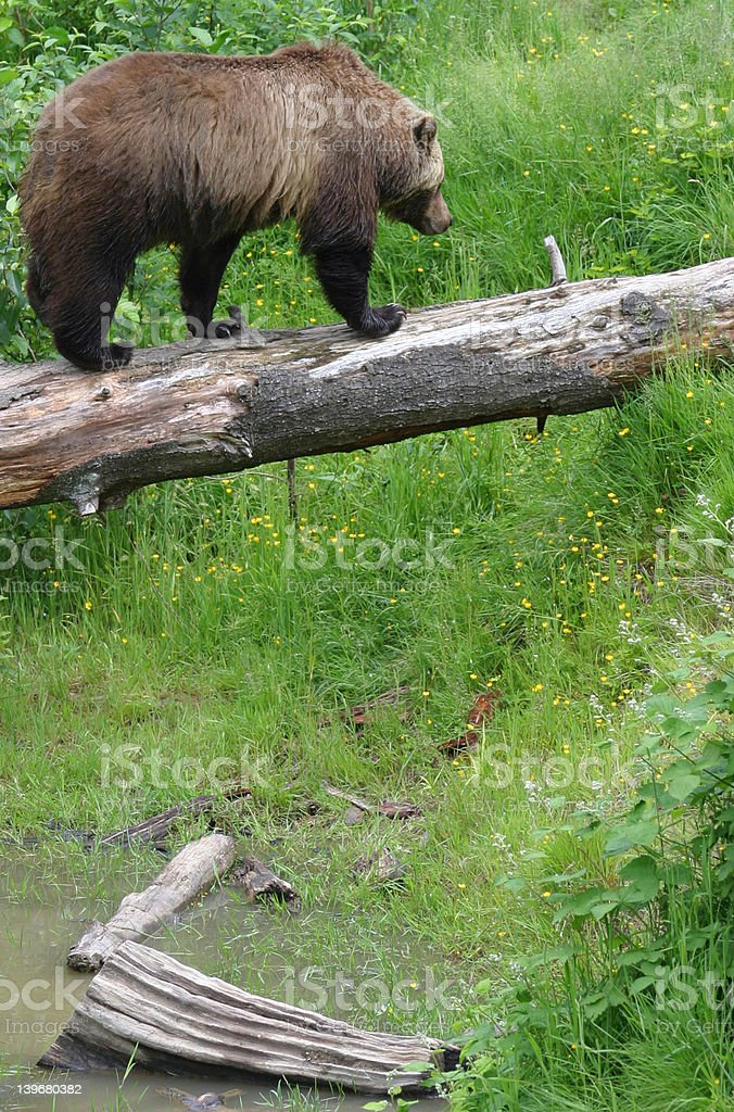 Grizzly Bear IV royalty-free stock photo