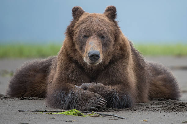 Grizzly Bear, Khutzeymateen stock photo