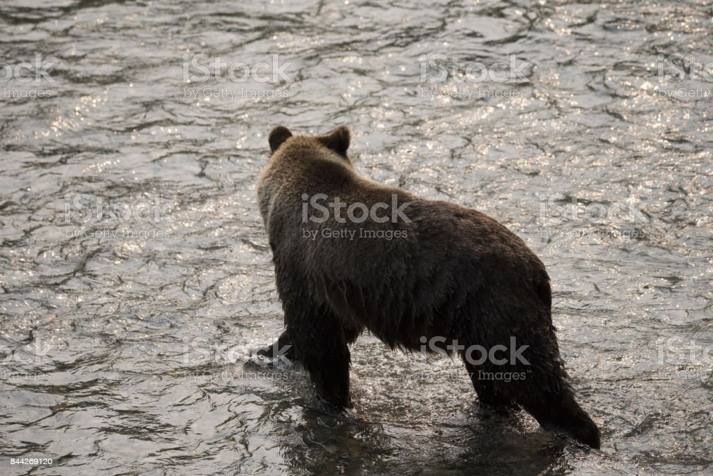 Grizzly Bear looking for salmon stock photo