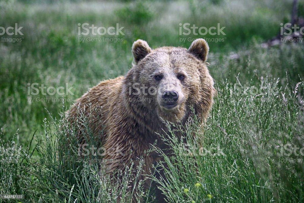Grizzly bear looks straight ahead. stock photo
