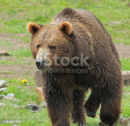 The Grizzly Bear in the Western US has grow from near extinction to a thriving population in the Greater Yellowstone Eco System.