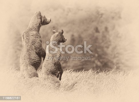 Brown Bears (Ursus arctos) mother and cub standing and overlooking a valley Canada's Great Bear Rain Forest