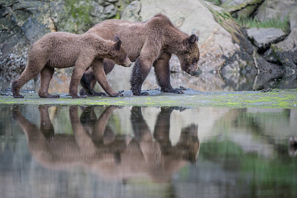 Grizzly Bear mother and cub, Khutzeymateen stock photo