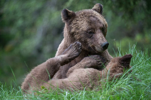 Grizzly bear mother and cub stock photo