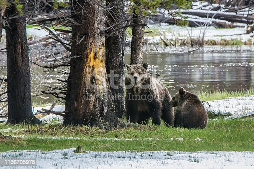 Grizzly bear and cub in Gibbon meadows area