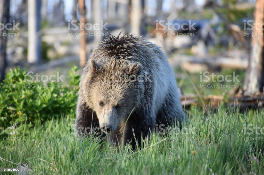 Grizzly Bear Mother And Cub Yellowstone National Park Wildlife Stock Photo Download Image Now