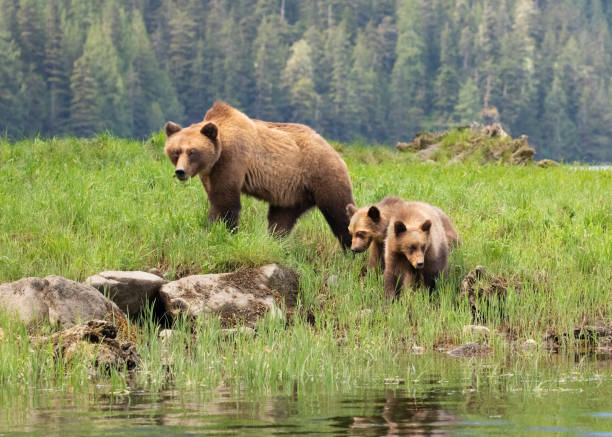 Grizzly Bear mother and cubs in a grassy meadow stock photo