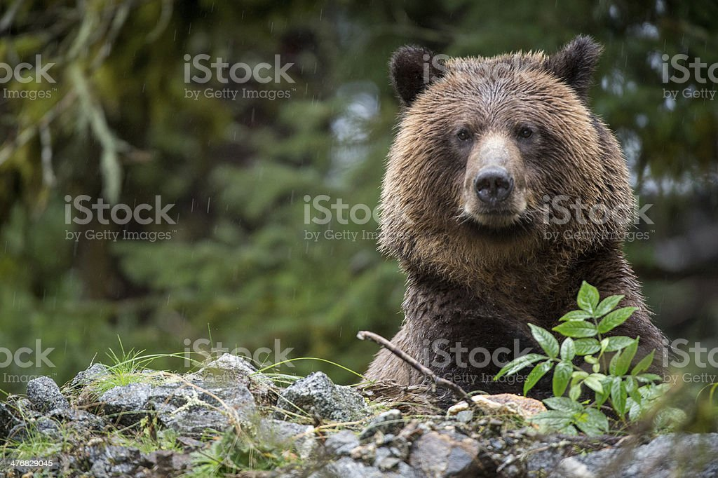 Grizzly Bear, Mussel Inlet, BC stock photo