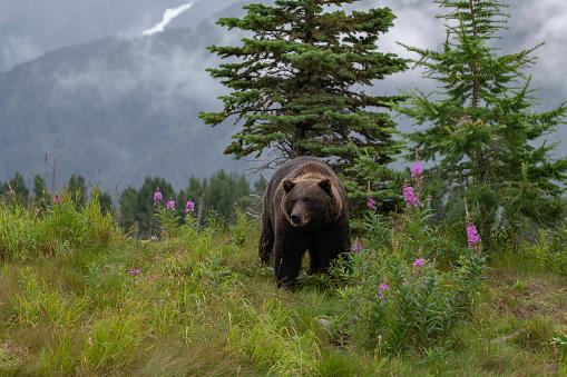 Grizzly in beautiful setting in Alaska