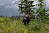 istock Grizzly bear on a hill top with flowers, clouds, mountains 1263706006