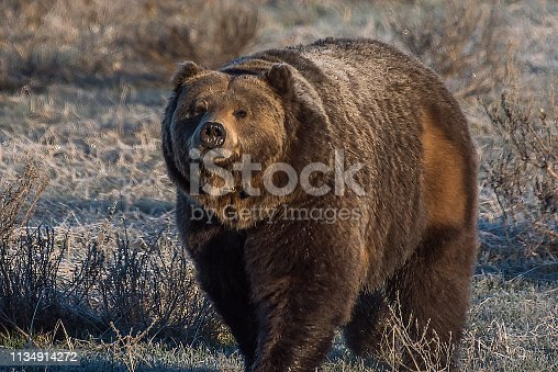 Grizzly bear on earning frosty morning alone walking toward camera. Bear is a male with a collar.