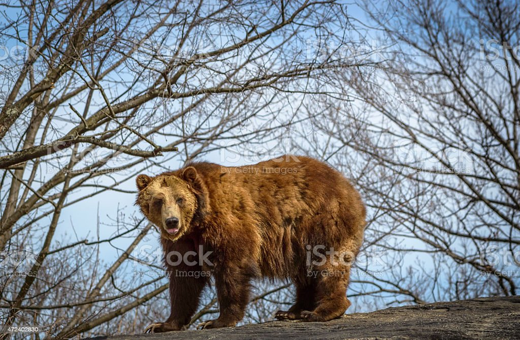 Grizzly Bear on Rock Against the Sky and Trees stock photo