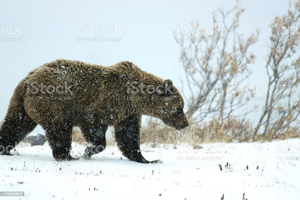 Grizzly bear on snow in Denali National Park Grizzly bear in Denali National Park and Preserve in winter Alaska - US State Stock Photo