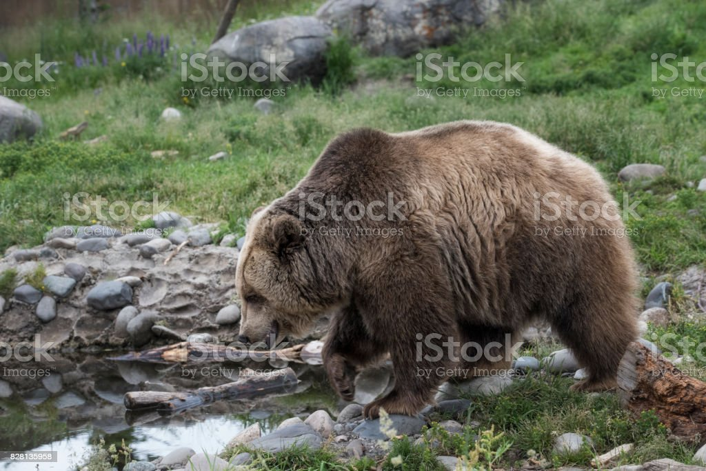 Grizzly bear on some grass near some water stock photo