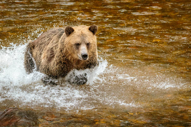 Grizzly Bear, or North American Brown Bear stock photo