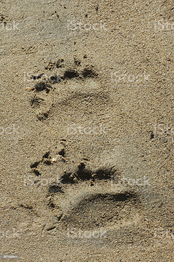 Grizzly Bear Paw royalty-free stock photo