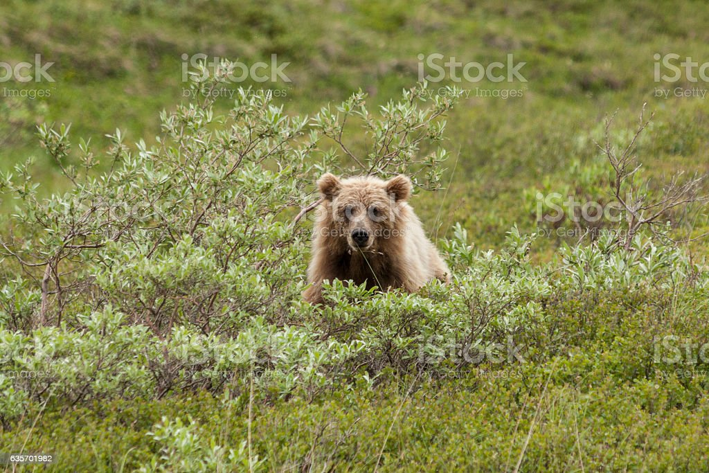 Grizzly bear peering at me through the willows. royalty-free stock photo