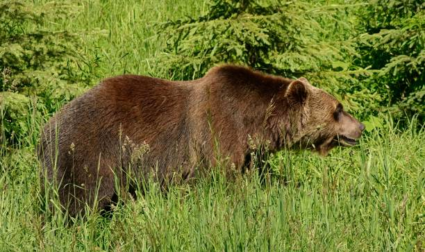 grizzly bear - british columbia glacier national park stock pictures, royalty-free photos & images