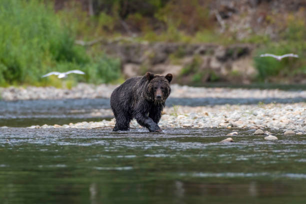 Grizzly bear Grizzly bear on a river walking and hunting salmon Bella Coola British Columbia Canada vancouver island stock pictures, royalty-free photos & images